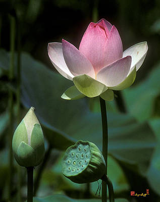 Photograph - Lotus--stages Of Life I 24q by Gerry Gantt