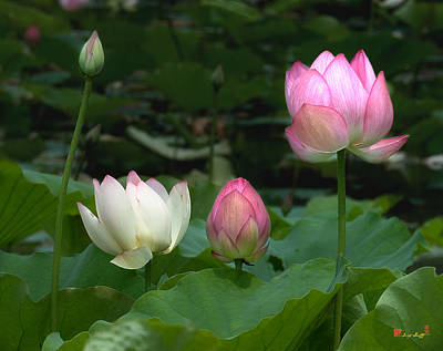 Photograph - Lotus--stages Of Life II Dl024 by Gerry Gantt