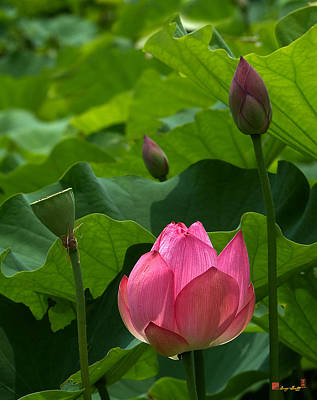 Photograph - Lotus--stages Of Life IIi Dl017 by Gerry Gantt