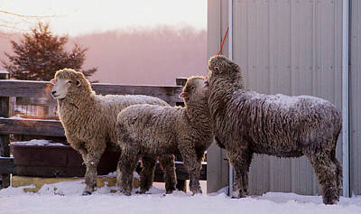 Barns In Snow Photograph - Love Ewe Two by Linda Mishler