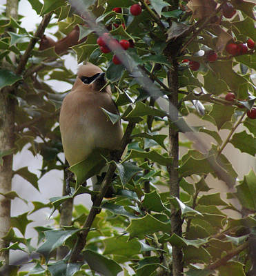 Cedar Waxing Photograph - Love Holly Berries by Rick Friedle