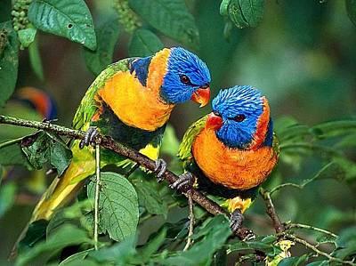 Lovebird Digital Art - Lovebirds by Webphoto
