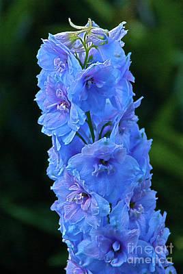 Photograph - Lovely Larkspur Blue by Byron Varvarigos
