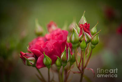 Roses Royalty-Free and Rights-Managed Images - Lovely Rose Crown by Mike Reid
