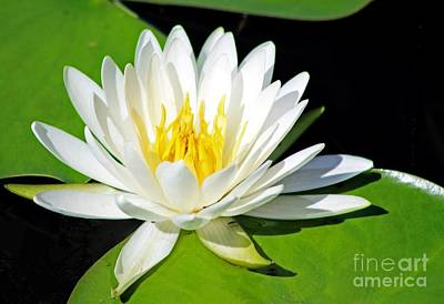 Photograph - Water Lily by David Cutts