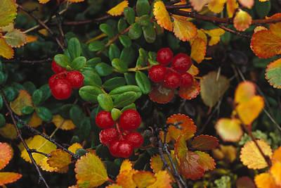 Lowbush Cranberries Vaccinium Vitis Art Print by Nick Norman