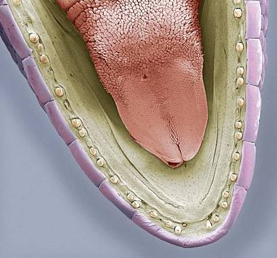 Lower Jaw Of A Gecko, Sem Art Print by Steve Gschmeissner