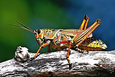 Photograph - Lubber Grasshopper by Ira Runyan