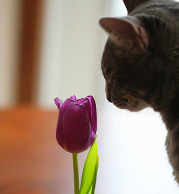 Photograph - Lucius And Purple Tulip by Donna Munro