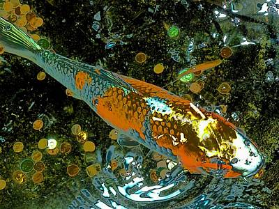 Photograph - Lucky Koi by Beth Akerman