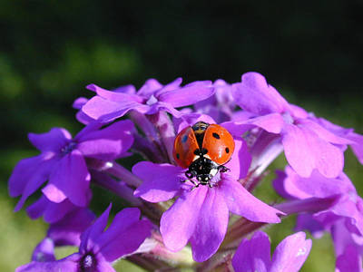Lucky Ladybug Art Print