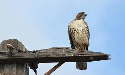 Red Tail Hawk Photograph - Lull In Activity by Fraida Gutovich