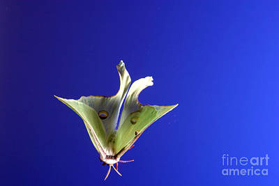 Photograph - Luna Moth In Flight by Ted Kinsman