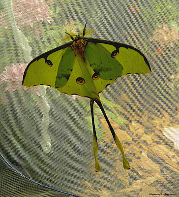 Photograph - Luna Moth by Kimmary MacLean