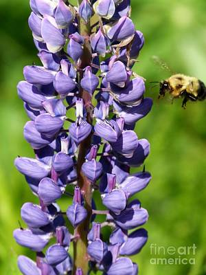 Lupine And Bee Art Print by Christine Stack