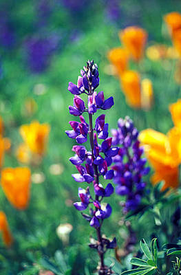 Florals Photograph - Lupine And Poppies by Kathy Yates