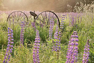 Photograph - Lupine Fields by Susan Cole Kelly