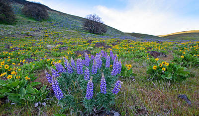 Photograph - Lupine Scenic by Jean Noren
