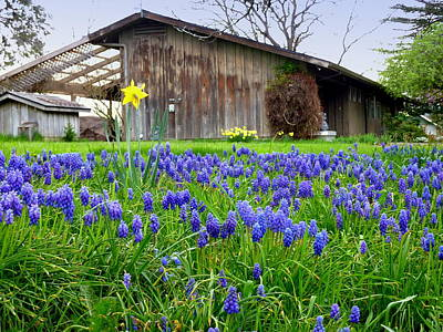 Photograph - Lupine Spring Barn by Cindy Wright