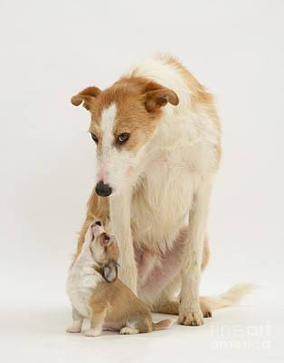 Lurcher Photograph - Lurcher And Chihuahua by Jane Burton