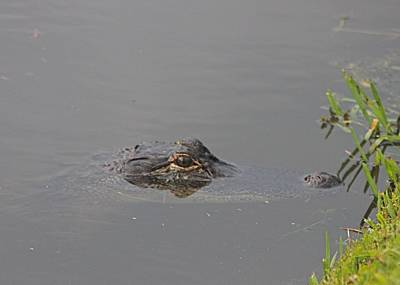 Photograph - Lurking Alligator by Jeanne Kay Juhos