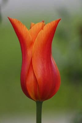 Photograph - Luscious Orange Tulip by Cathie Douglas