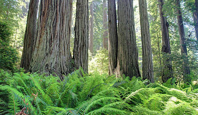 Photograph - Lush Forest Of Redwood National Park by Pierre Leclerc Photography