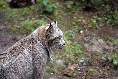 Photograph - Lynx - 0001 by S and S Photo