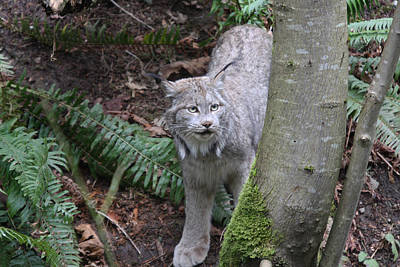 Photograph - Lynx - 0002 by S and S Photo