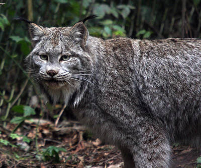 Photograph - Lynx - 0008 by S and S Photo