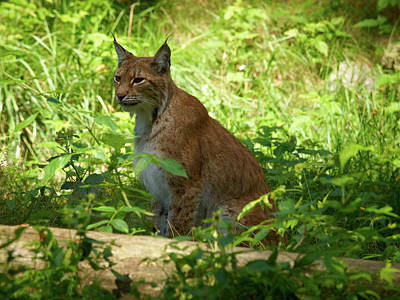 Jouko Lehto Royalty-Free and Rights-Managed Images - Lynx by Jouko Lehto
