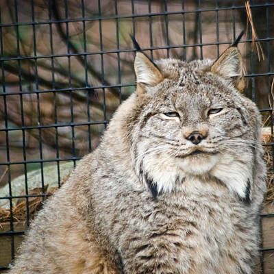 Photograph - Lynx by Trish Tritz