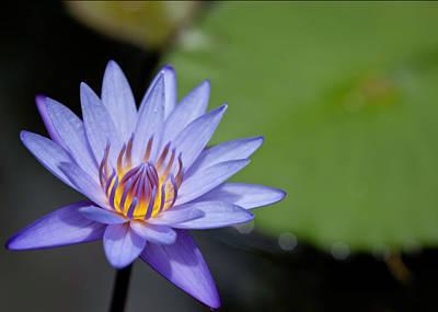 Photograph - Lyon Arboretum Water Lily by Dan McManus