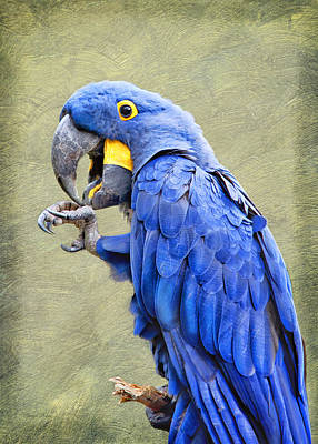 Photograph - Macaw by Cheryl Davis