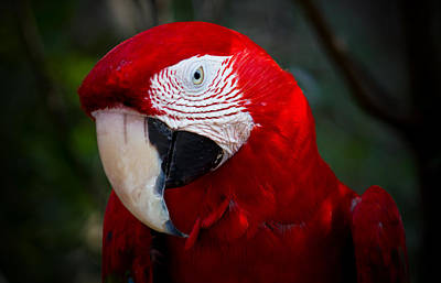 Reptiles Photograph - Macaw by Mark Andrew Thomas