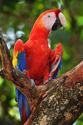 Macaw Of Copan Art Print by Paul Bratescu