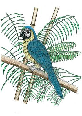 Rain Forest Drawing - Macaw by Richard Freshour