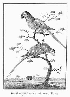1796 Photograph - Macaws, 1796 by Granger