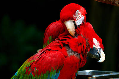 Parrot Digital Art - Macaws by Paul Ge