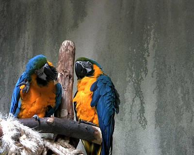 Maccaw Parrots Art Print by Kim French