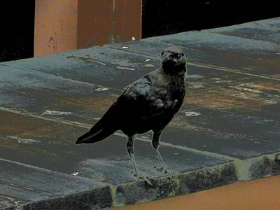 Photograph - Mackinac Crow by Beth Akerman