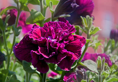 Photograph - Maco Petunia Flower Double Burgundy Madness Art Prints by Valerie Garner