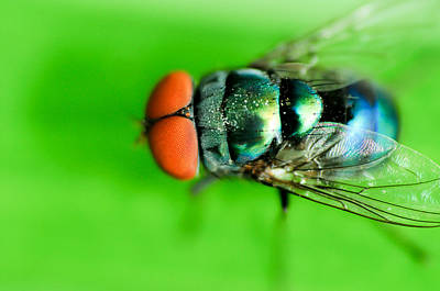 Photograph - Macro Blue Bottle Fly by Chua  ChinLeng