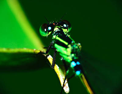 Photograph - Macro Damsel Fly by Chua  ChinLeng