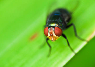 Photograph - Macro Housefly by Chua  ChinLeng