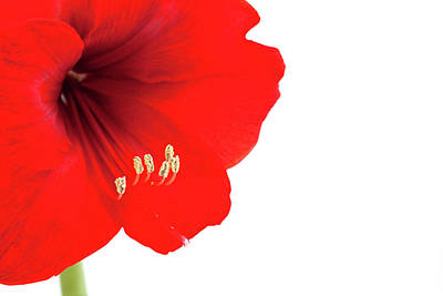 Stamen Photograph - Macro Of Red Amaryllis With Copy Space by Ursula Alter