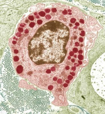 Macrophage Cell, Tem Art Print by Steve Gschmeissner
