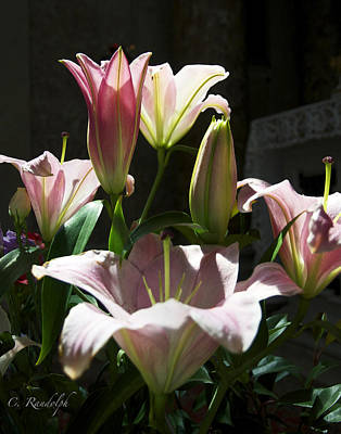 Photograph - Madonna Lilies by Cheri Randolph