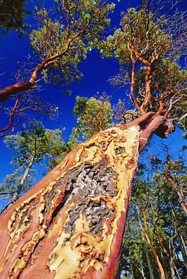 Exfoliate Photograph - Madrone Tree by David Nunuk