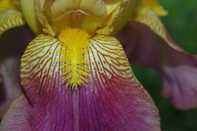 Photograph - Magenta Cream Iris Open Up And Say Ahh by Robyn Stacey